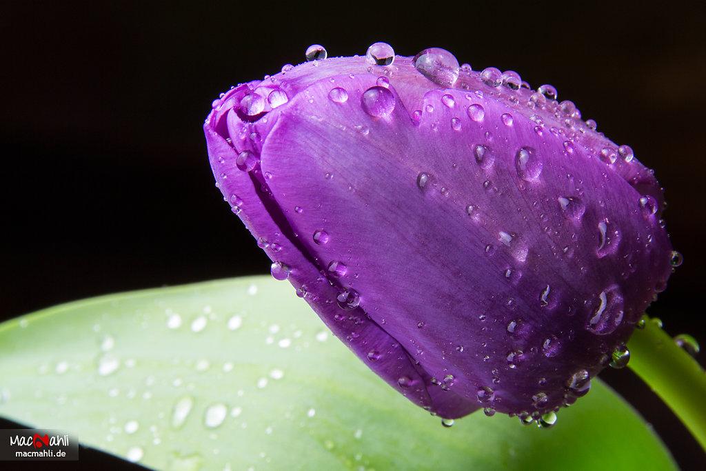 Tulipa Liliaceae Stillas Roris Circumdata